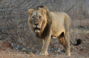 Niște oameni din Neamț susțin că au văzut un leu pe la ei prin sat