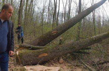 Genocidul stejarilor seculari: cum ni se fură ultimele păduri de câmpie